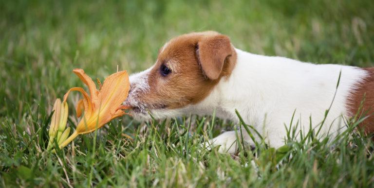 Tyto rostliny v zahradě nevysazujte, chováte-li psa