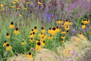 Tato kombinace zahrnuje málo pěstovanou, ale překrásnou třapatku se žlutými květy (Echinacea paradoxa)