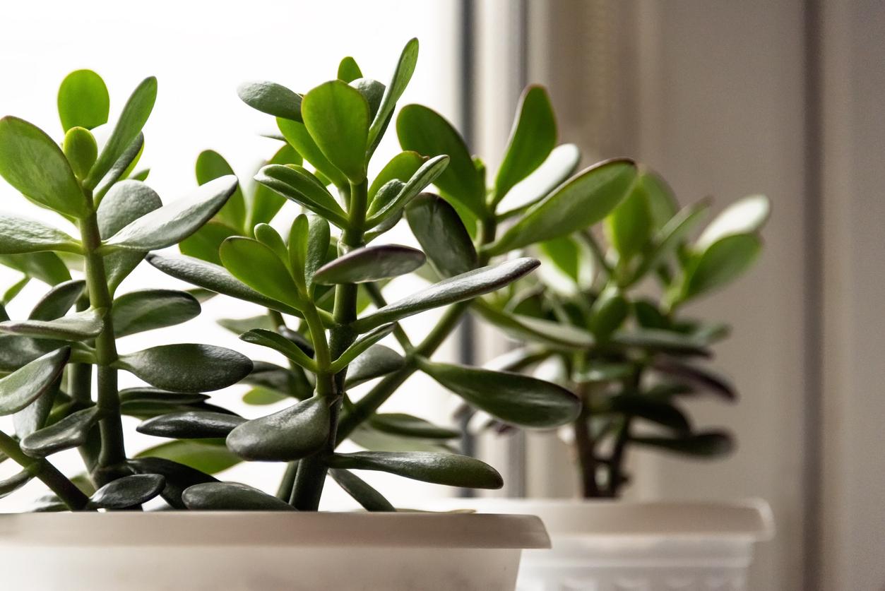 Succulent houseplant Crassula on the windowsill