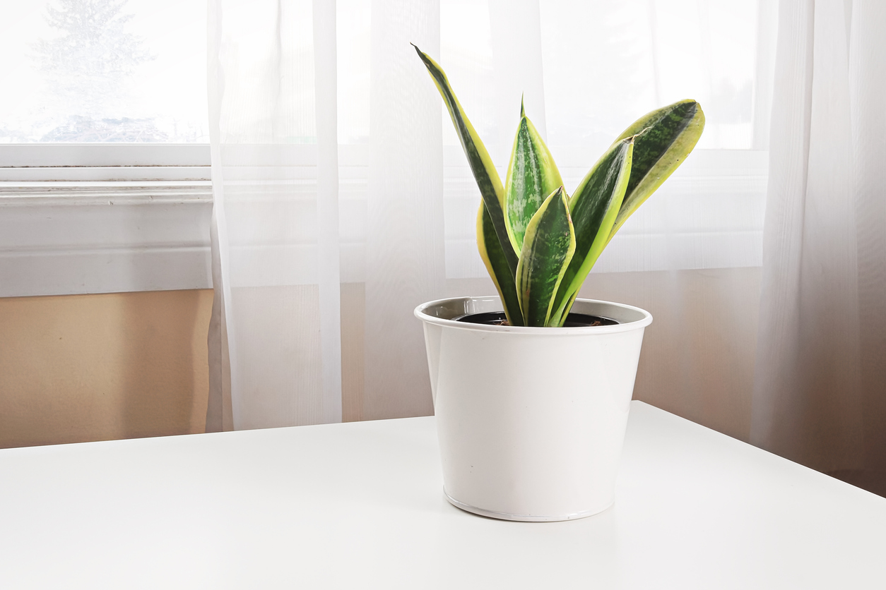 A snake plant on a table beside a window
