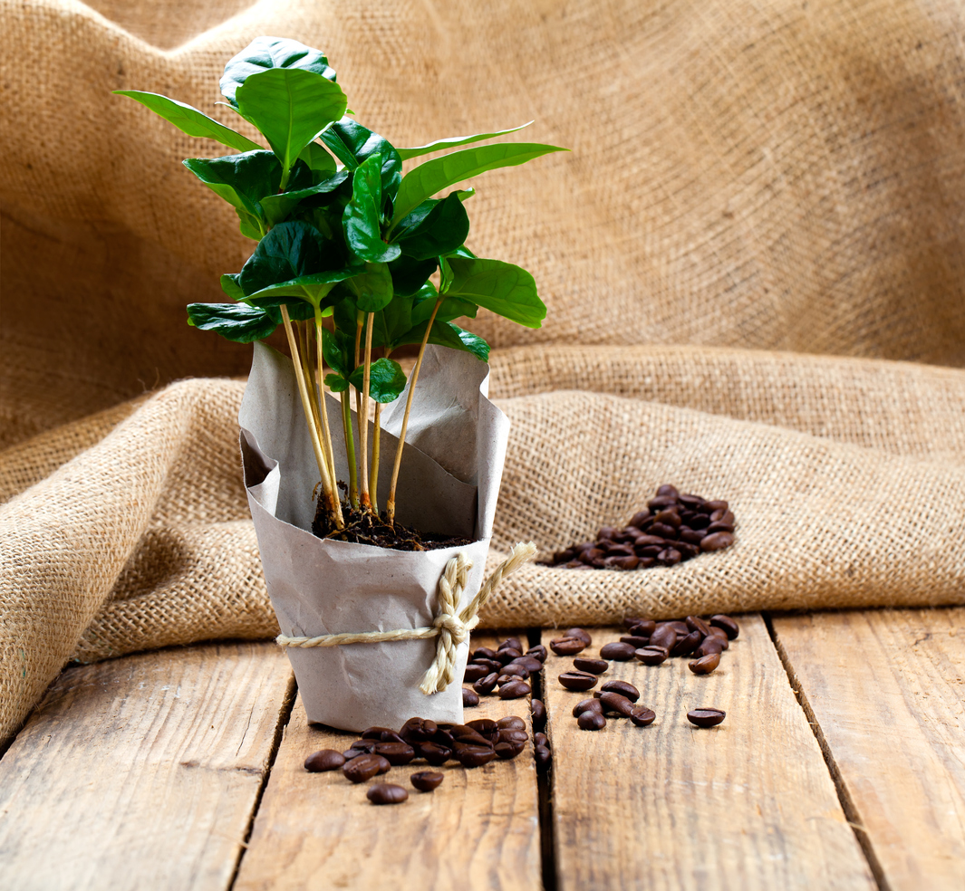 Kávovník