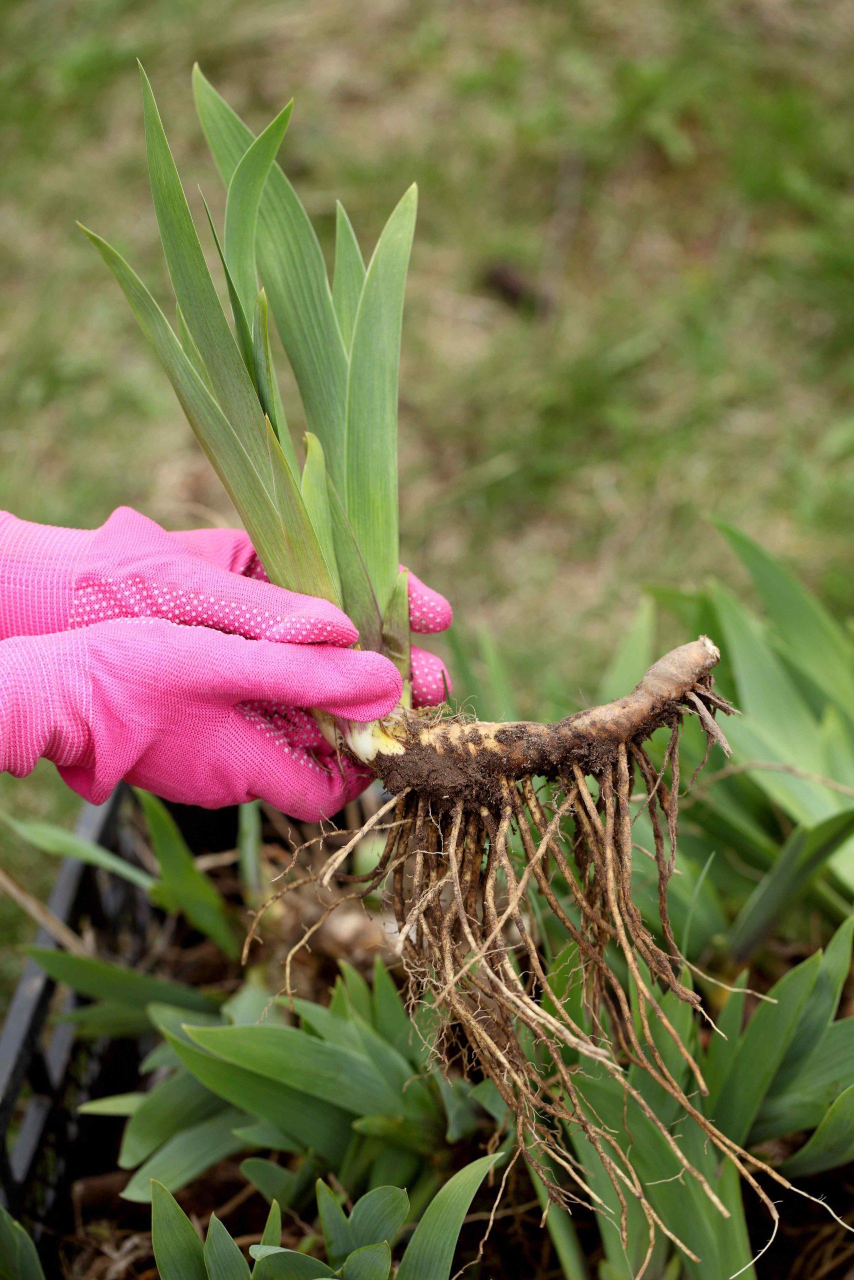 Ruce v rukavicích drží kořeny rostliny