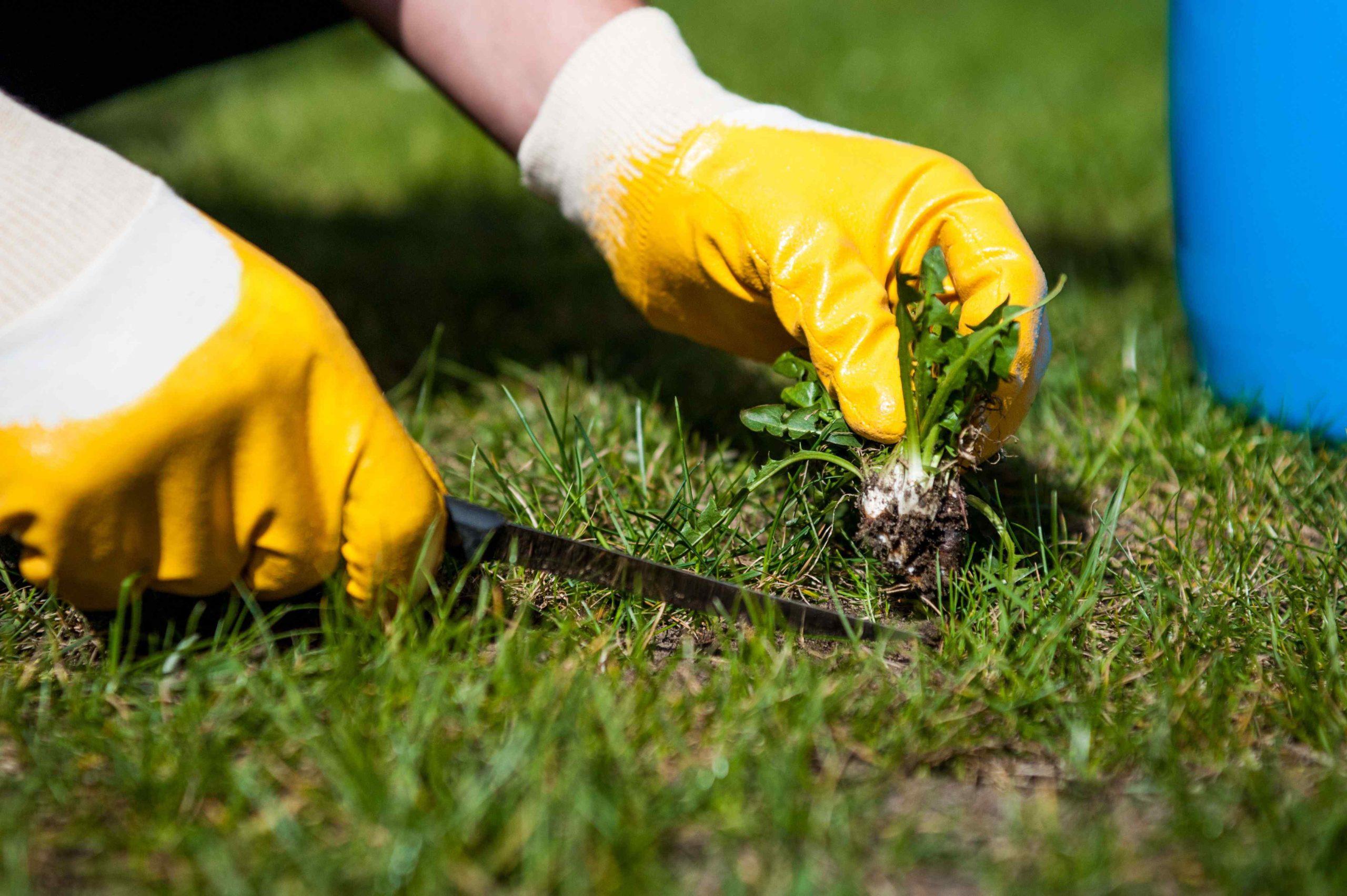 Vybírání plevele