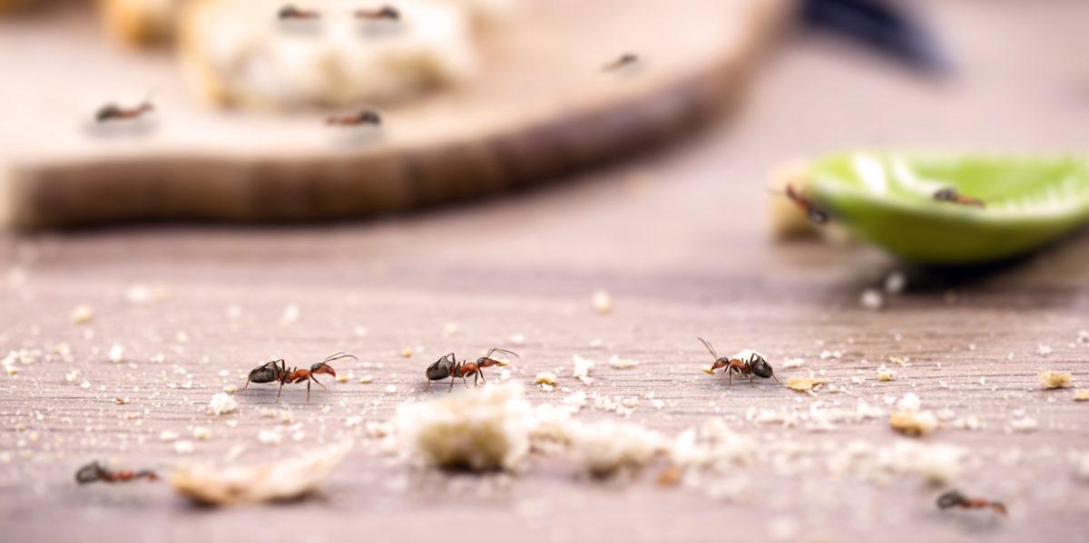 Trápí vás mravenci v domácnosti? Takto si s nimi poradíte účinně, levně a bez chemie