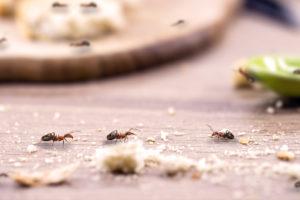 Mravenci na jídle