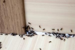 Mravenci v domě