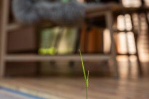 Roste tráva z drevěné podlahy